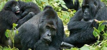 Gorilla Trekking  – Covid Updates