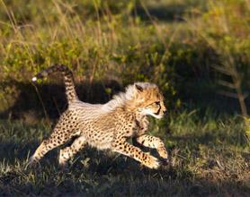 cheetah cub tour