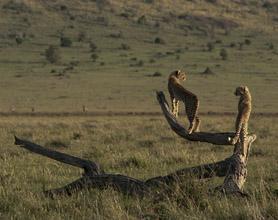 cheetah on a log tour