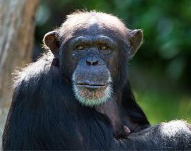 chimpanzee portrait tour