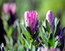 garden route proteas tour