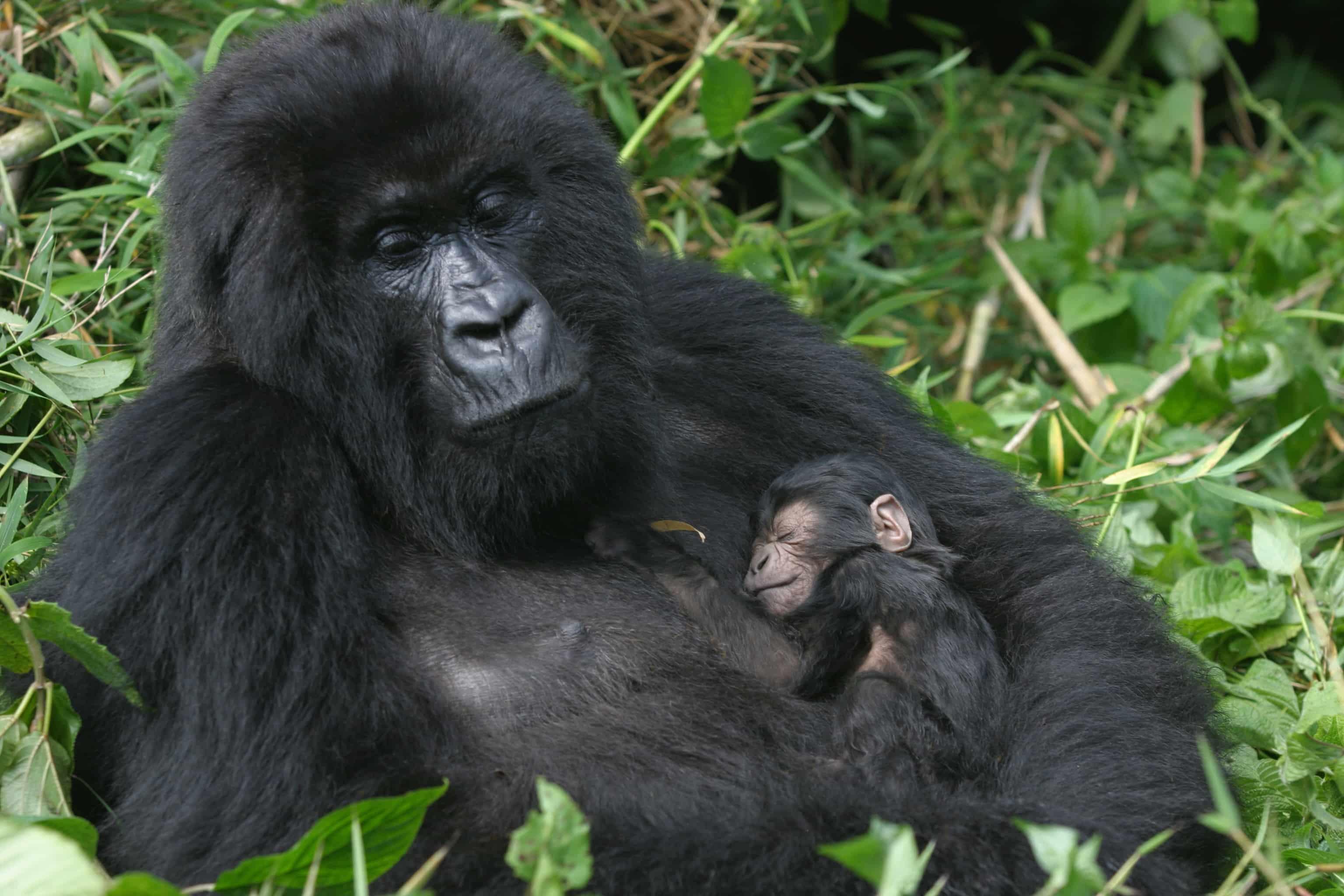 gorilla close up