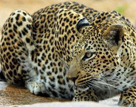 mala mala leopard tour