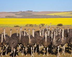 ostriches tour