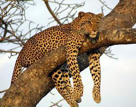 sabi sand leopard tour