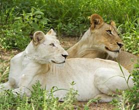 timbavati white lions tour