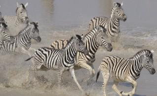 zebra migration at leroo la tau
