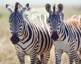 zebras tour