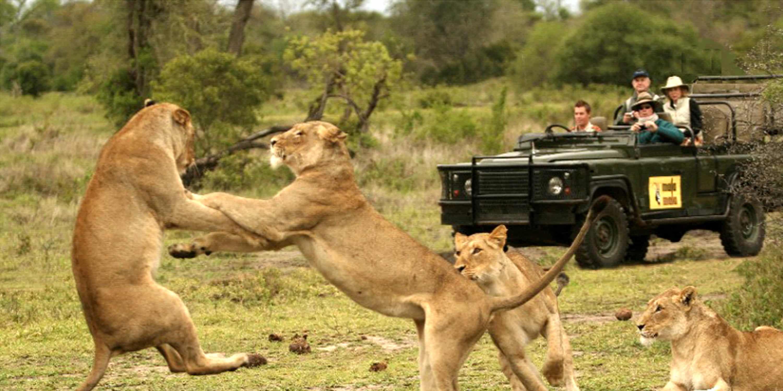Lions brawling on Mala Mala tour