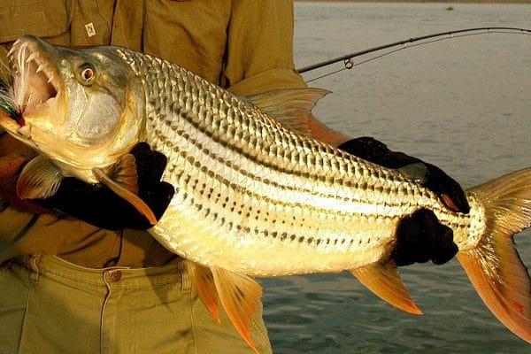 Tigerfish at Chiawa Camp