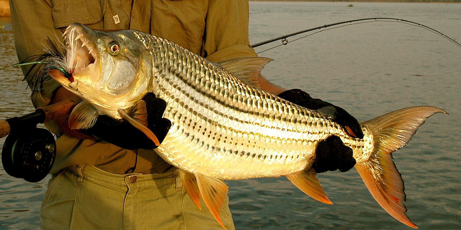 Tigerfish at Chiawa Camp