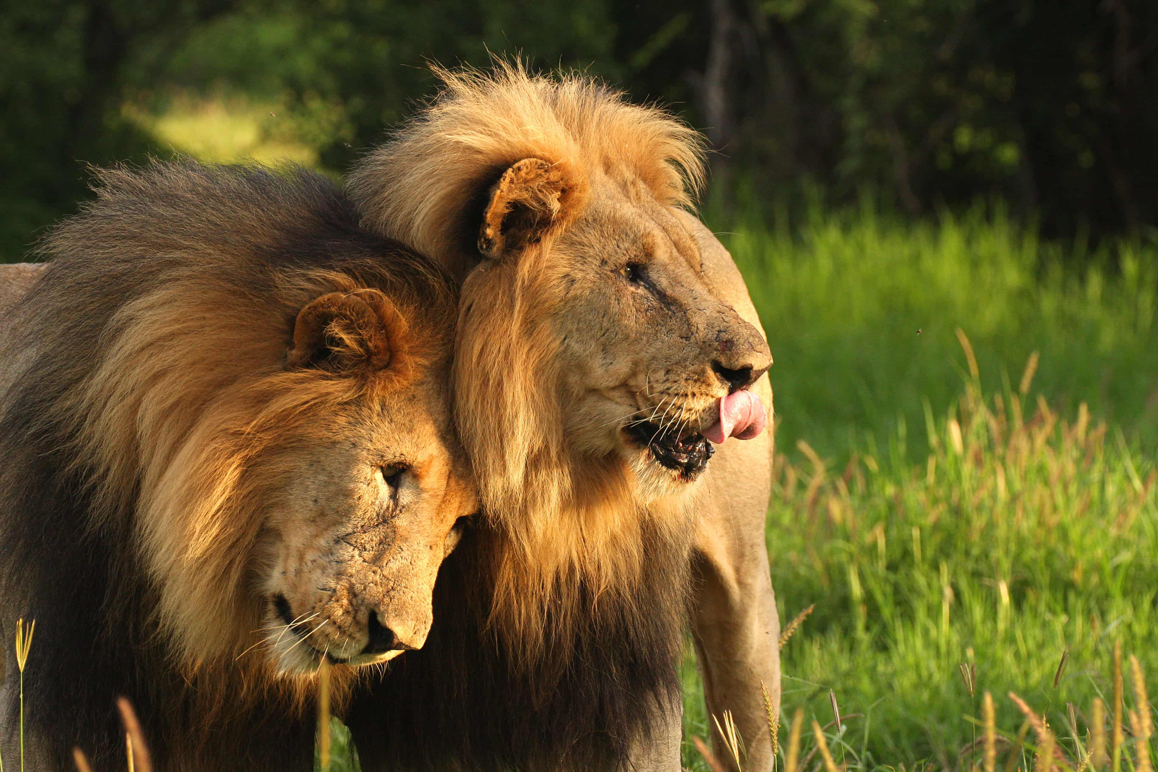 Two lion brothers