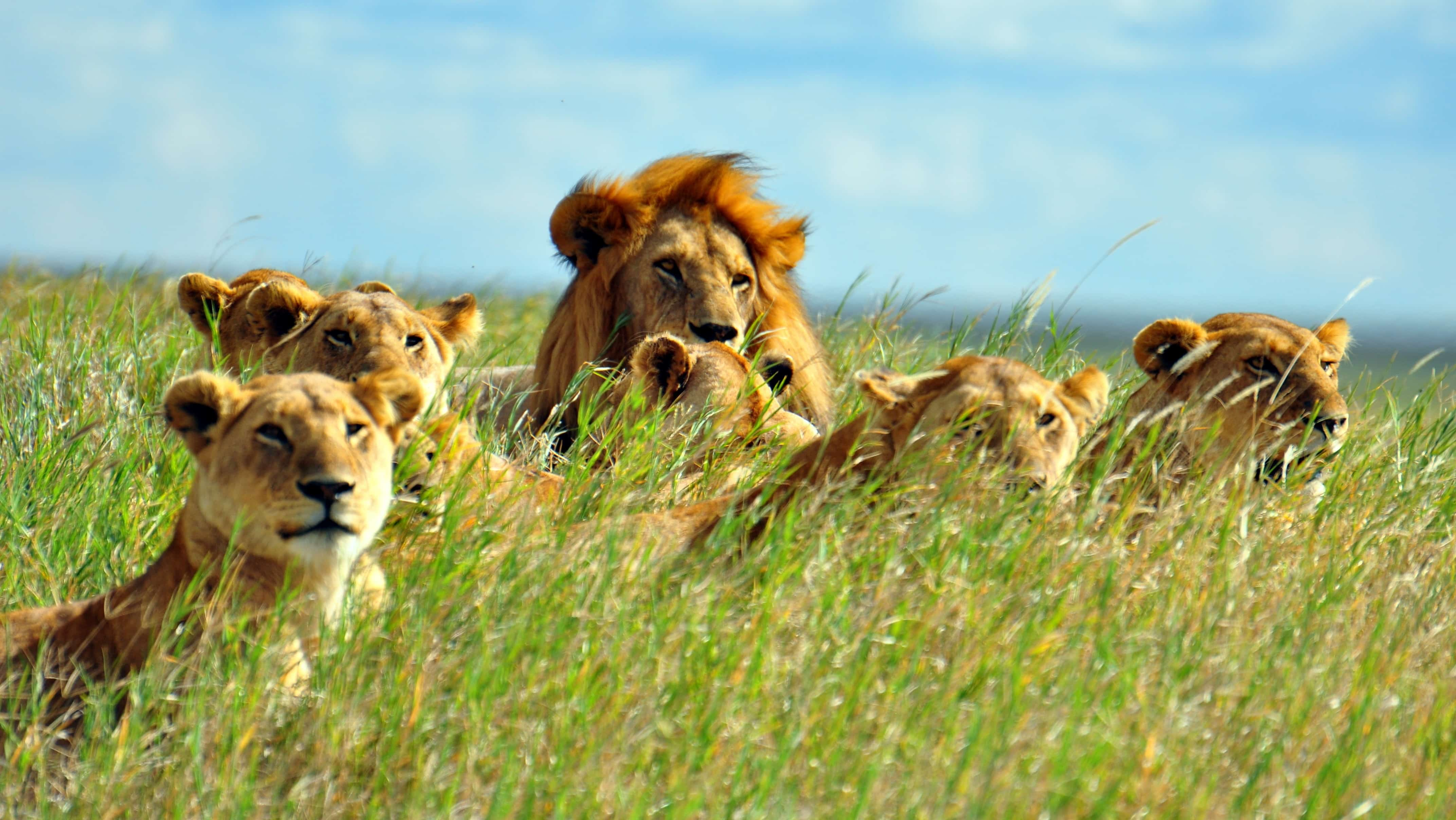 Male with lionesses
