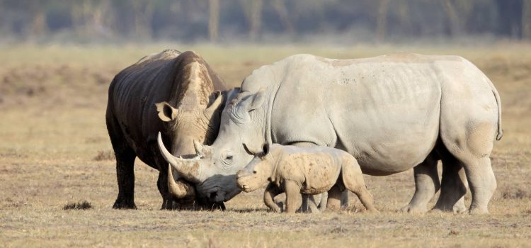 Saving The Rhino Before It's Too Late