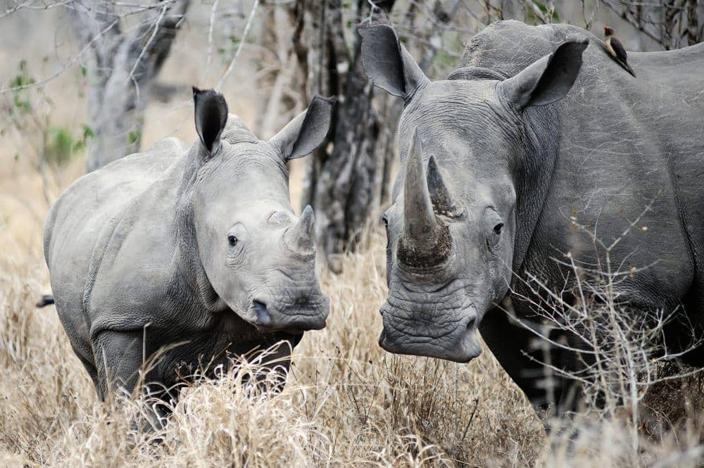 Mother Rhino and her calf