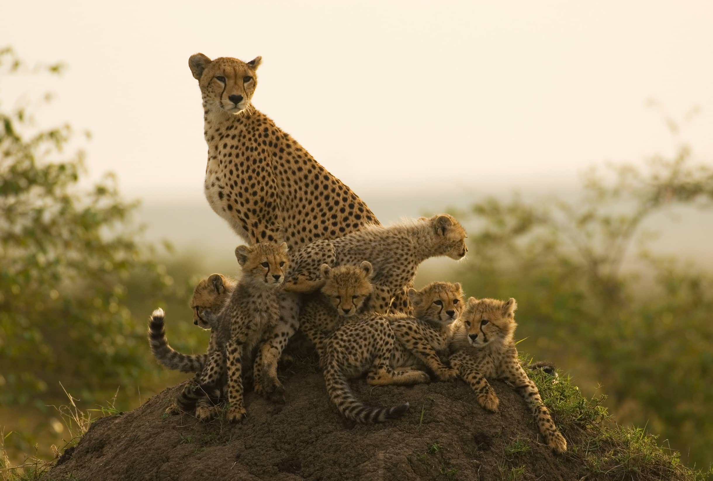 Cheetah mother with cubs on mound