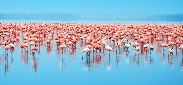 Flamingoes on lake in Kenya