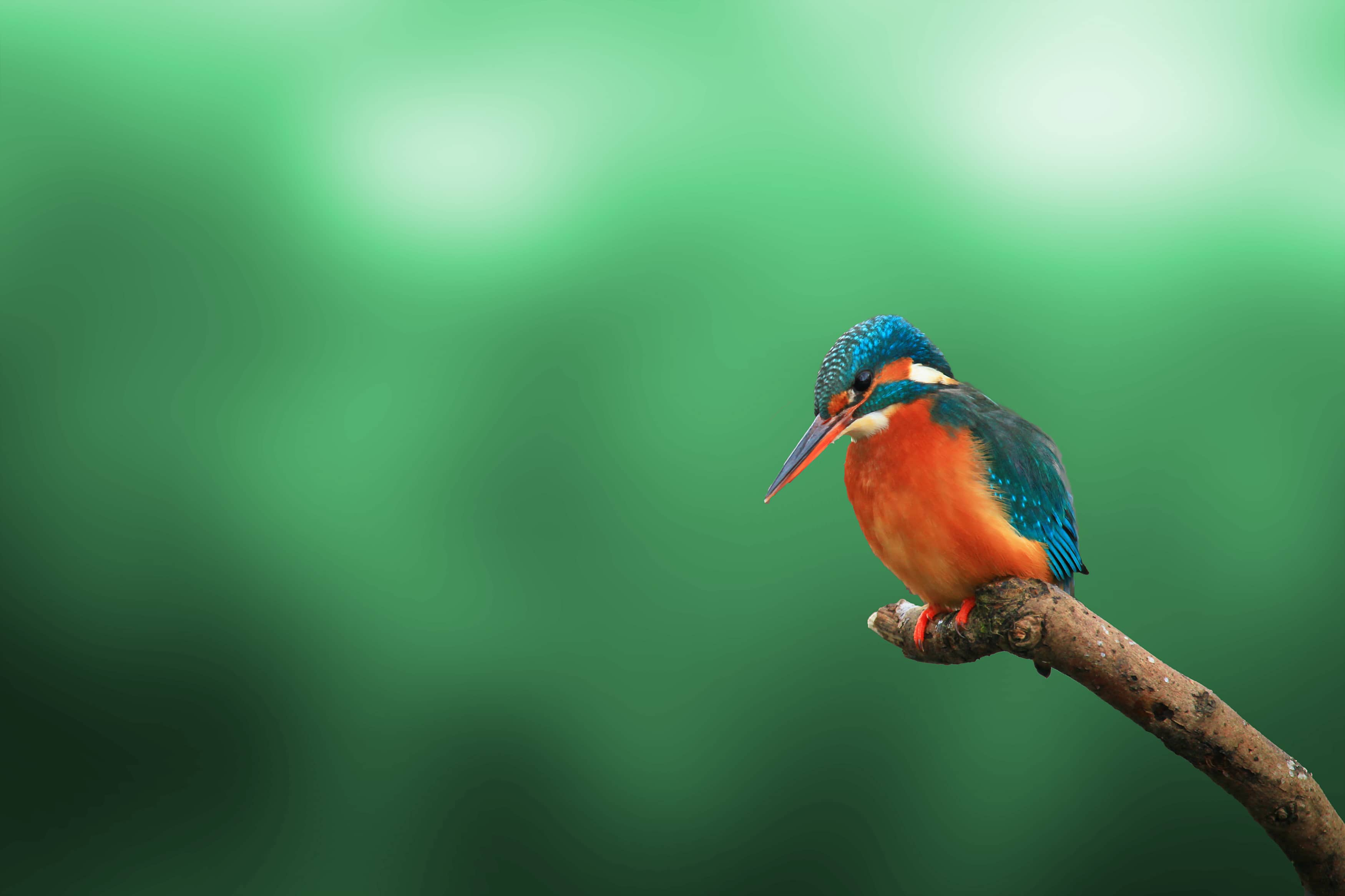 kingfisher against green background