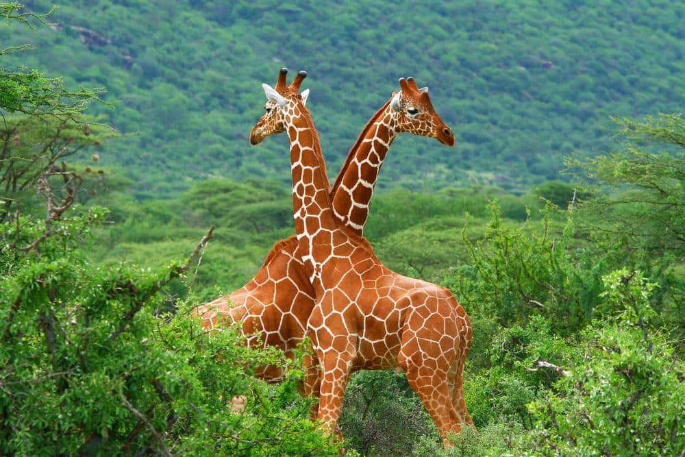 Two giraffes on green background