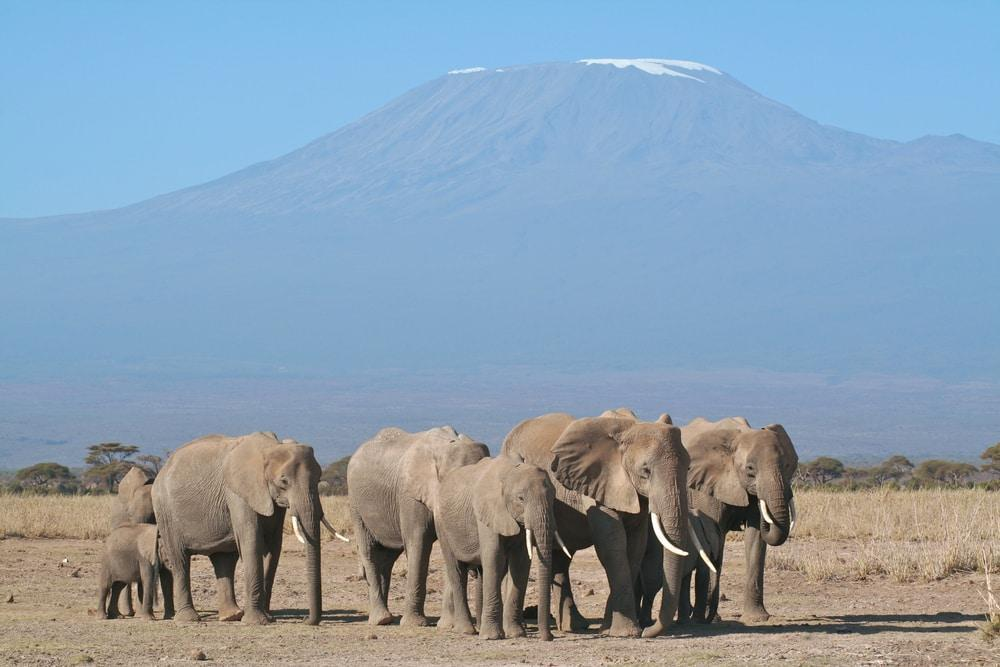 Elephants with Mount Kilimanjaro