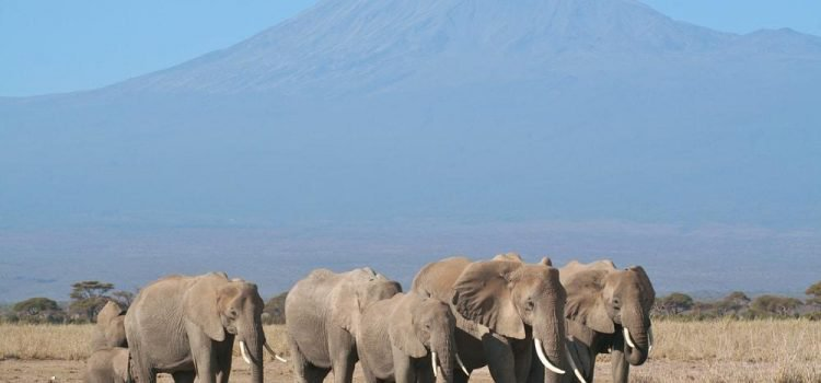 Elephants with Mount Kilimanjaro