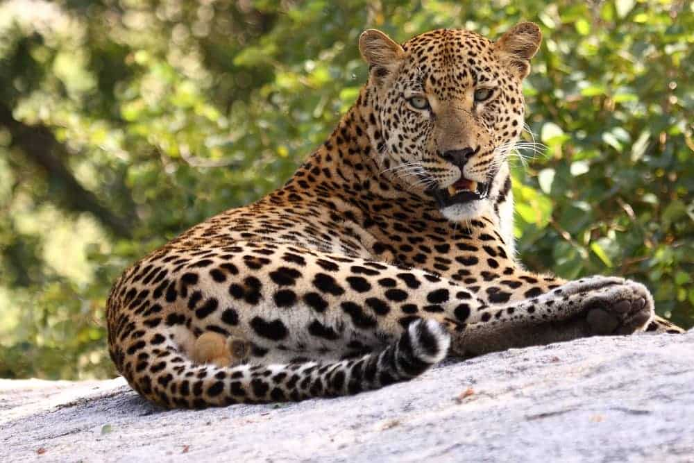 Reclining leopard
