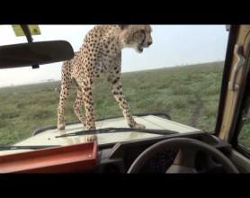 Video thumbnail for youtube video There's A Cheetah On The Bonnet Of My Vehicle!
