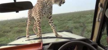 There's A Cheetah On The Bonnet Of My Vehicle!