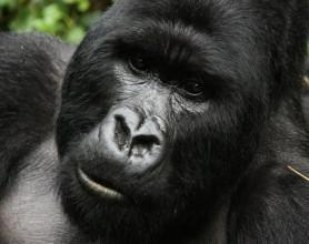 Close-up of male gorilla