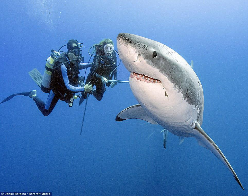 Great White with divers