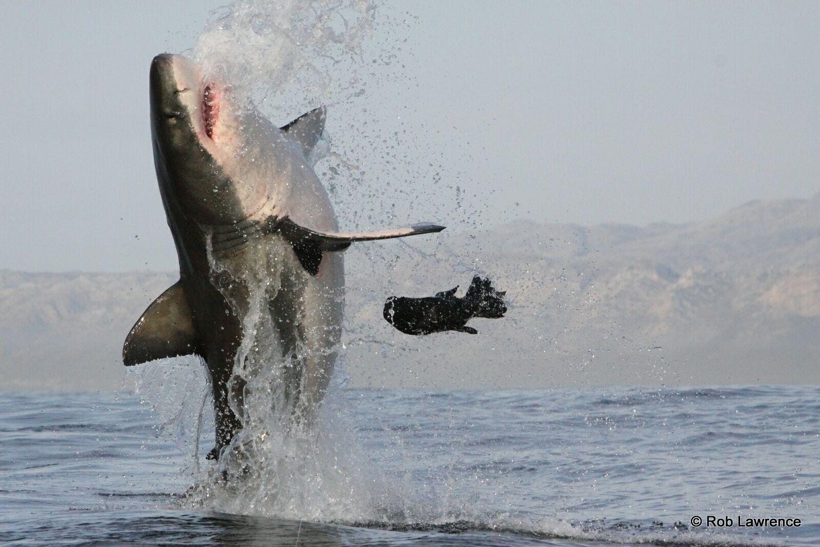 Great White breach off Seal Island in False Bay