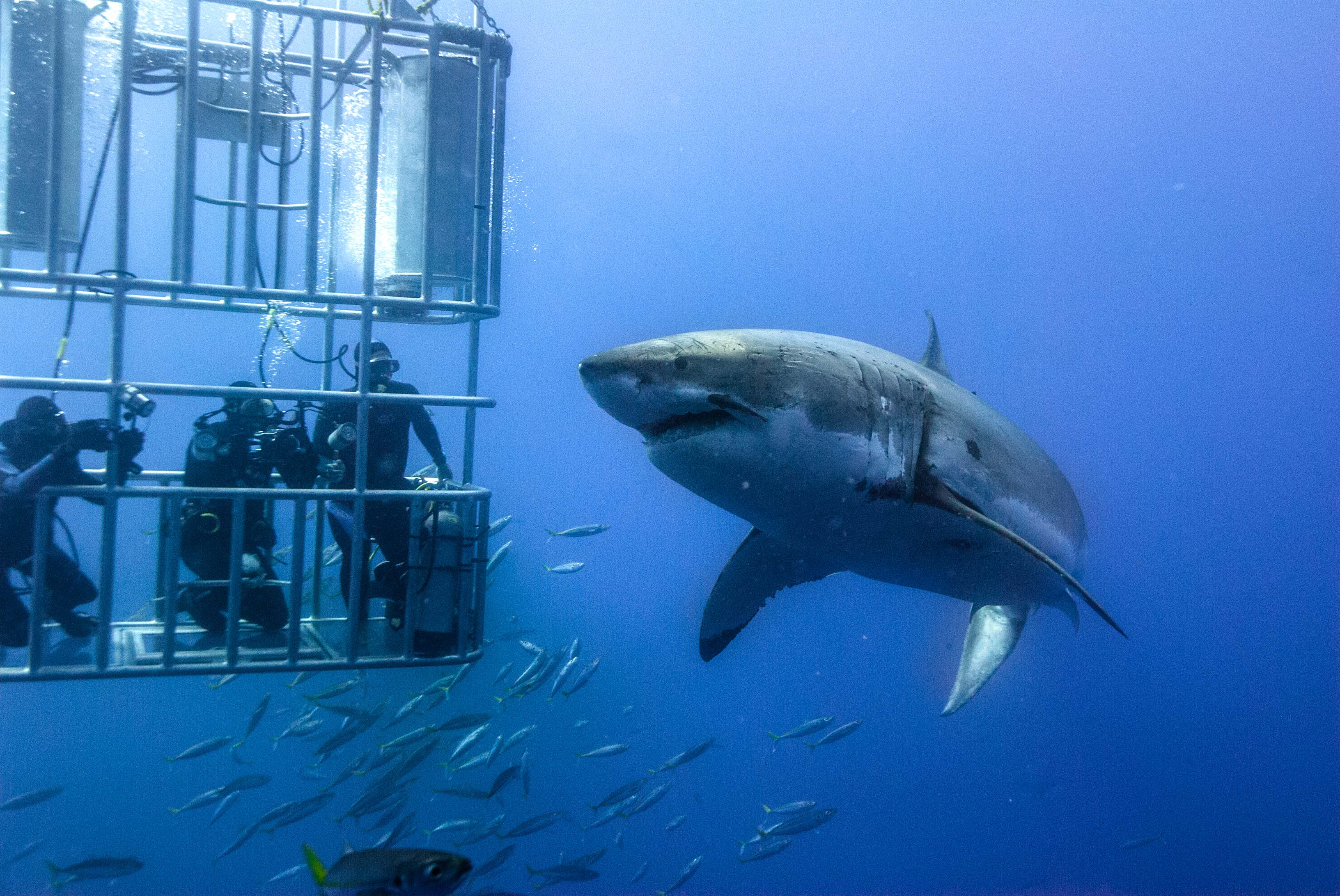 Great White cage diving off Gansbaai