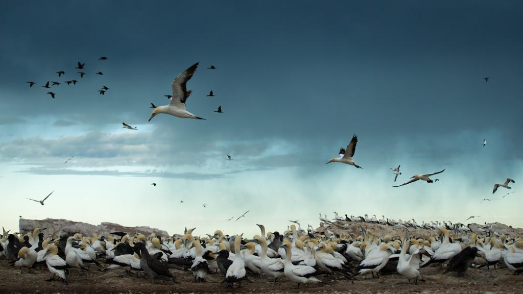Gannets at Bird Island