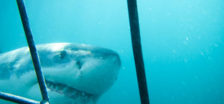 Experience The Ultimate Thrill: Great White Shark Cage Diving