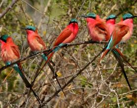 Bee Eaters at Carmine Bee Eater Hide
