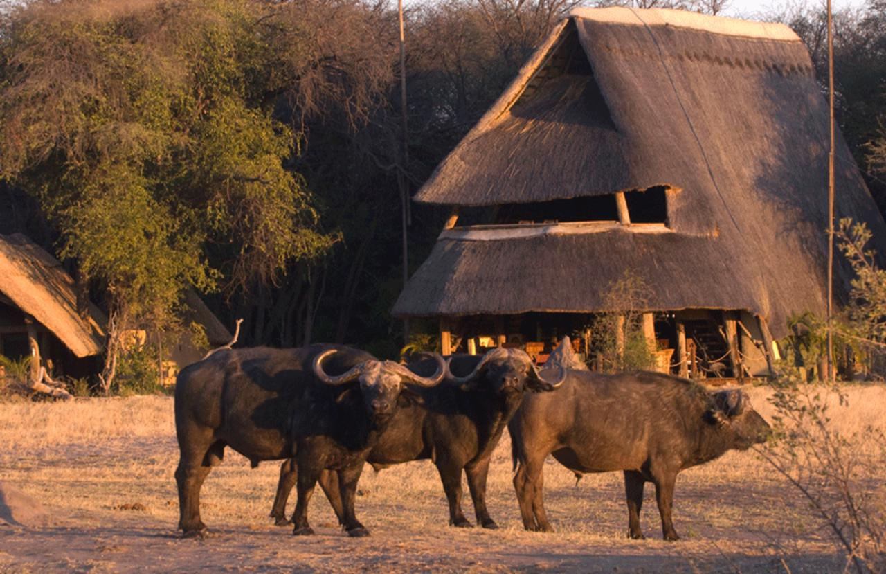 Buffalo at the Hide Safari Camp