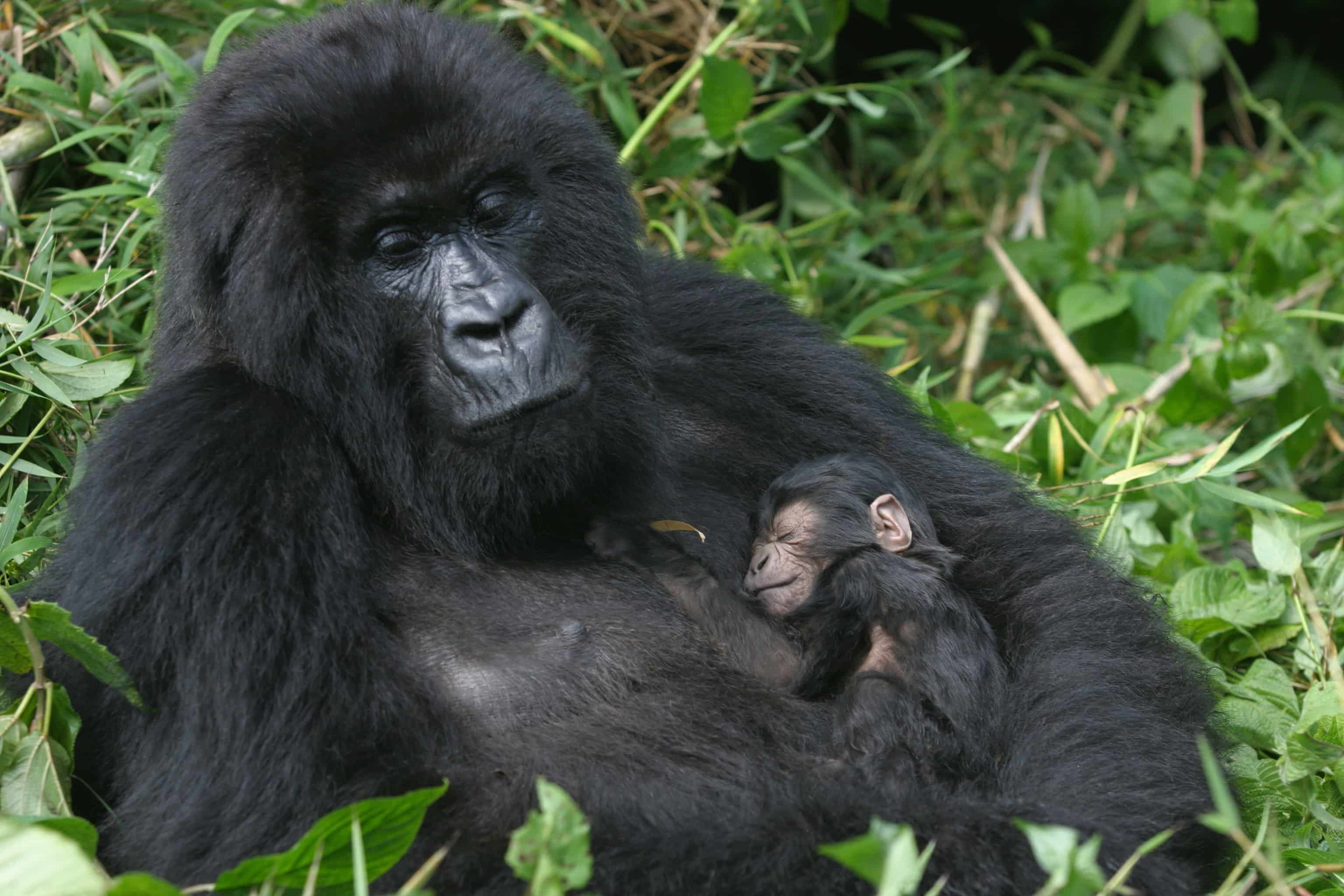 Mother gorilla with her baby