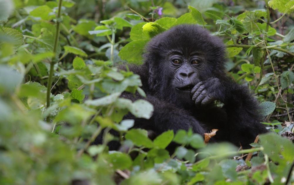 Young Gorilla in vegetation