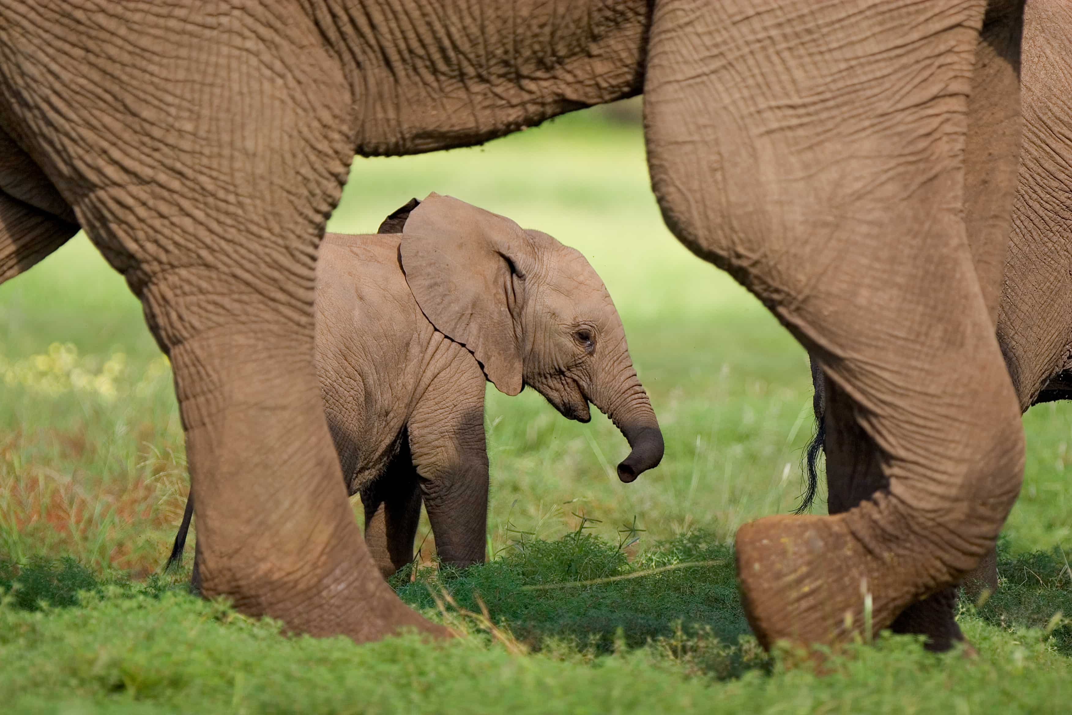 Elephant calf and its mother