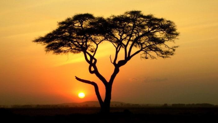 Acacia Tree with sunset