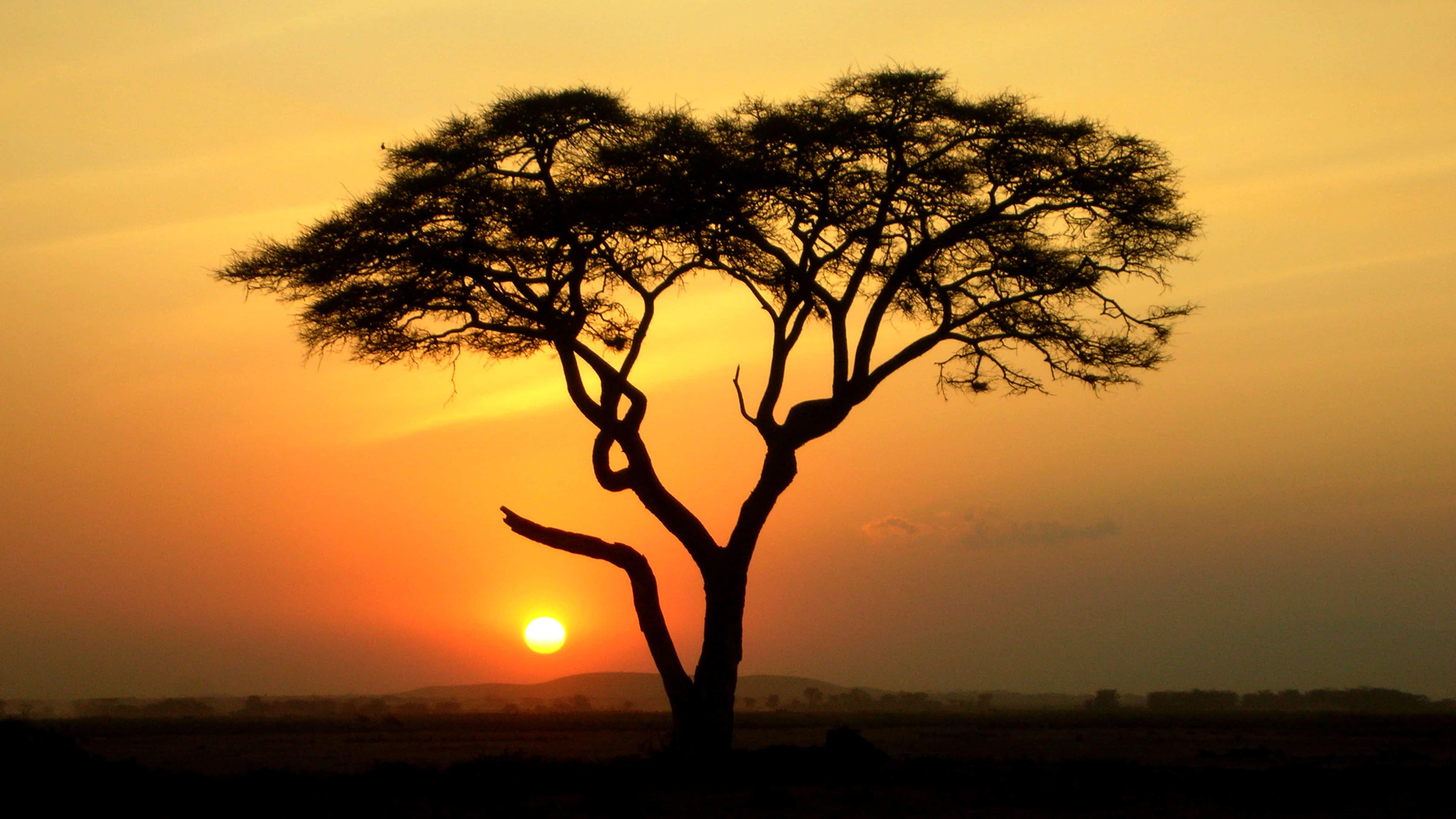 The Incredible Acacia Tree Phenomenon