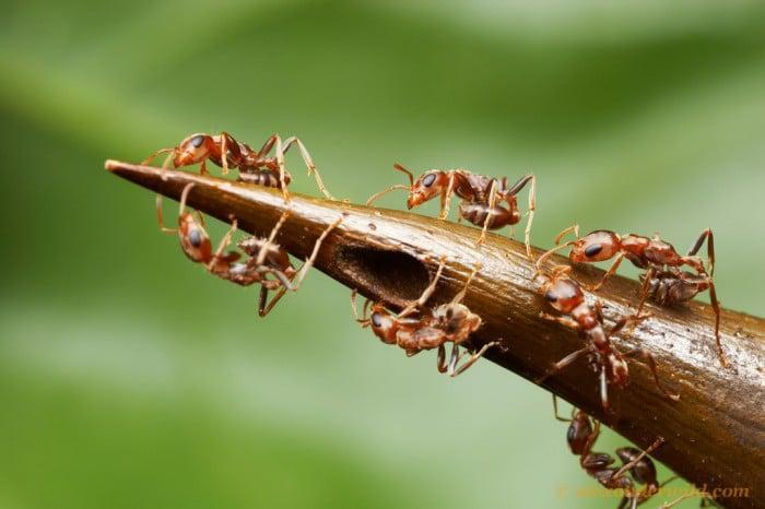 Alex Wild Photography stinging ants