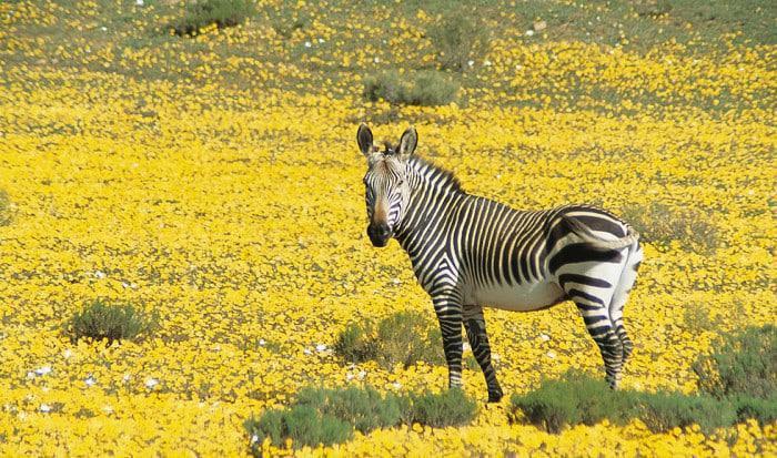 Bushmanskloof zebra