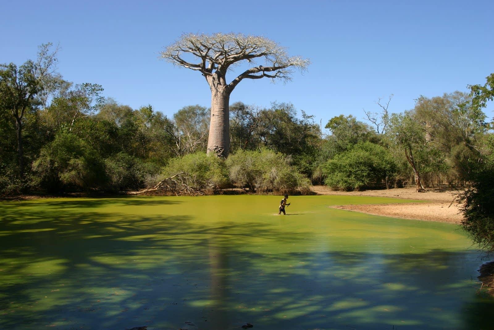 Baobab trees - unique scenery in Madagascar - China.org.cn
