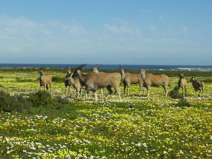 Eland at the West Coast National Park