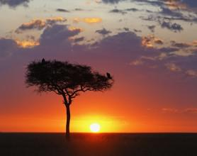 Acacia against sunset