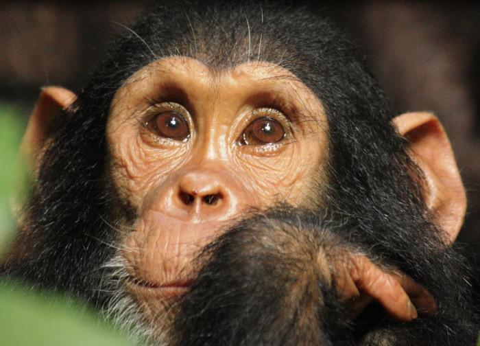 Chimpanzee baby at Greystoke Mahale