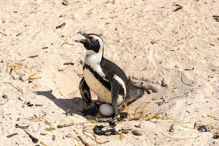 African Penguin laying egg pic credit Bjorn Grotting