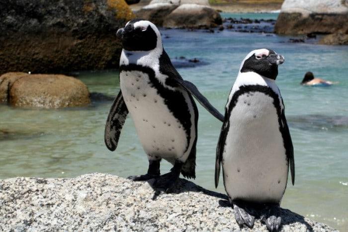 Penguins pic credit Ian Wilson