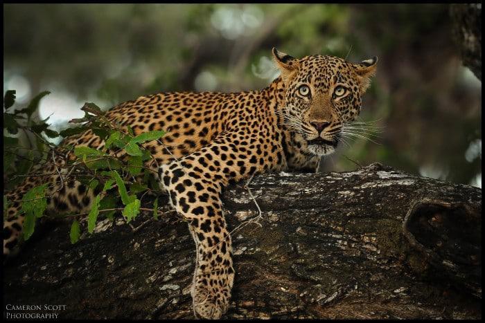 Leopard (photo credit Cameron Scott)